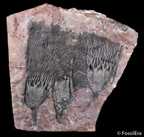 New Arrivals - Large Moroccan Crinoid Plates