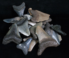 Announcing – Free Fossils For Teachers Program