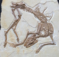 "New Fossil Discovery - ""Olive"" A Primitive Horse Ancestor From The Green River Formation"