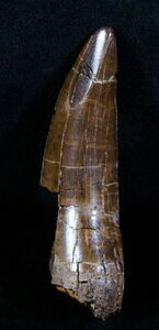 A large T-Rex tooth from South Dakota.