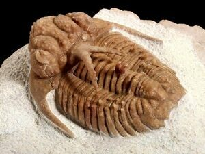 The trilobite Hoplolichoides conicotuberculatus.  From trilobites for sale on FossilEra