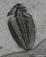 "A fossil of a molted trilobite showing the missing librigena or ""free cheeks"""