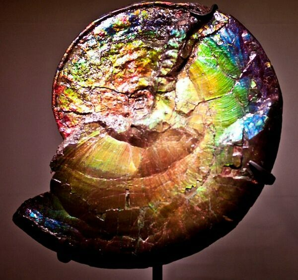 An ammonite composed entirely of ammolite.  Complete specimens of this quality are rare and prices run into the tens or even hundreds of thousands of dollars.