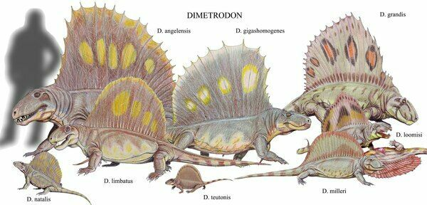 Restoration of various dimetrodon species to scale.  Creative Commons License