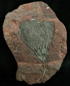 A large 420 million year old Crinoid from Morocco.