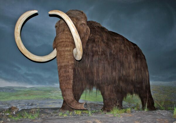 Woolly mammoth restoration at the Royal British Columbia Museum, Victoria, British Columbia.  Creative Commons License