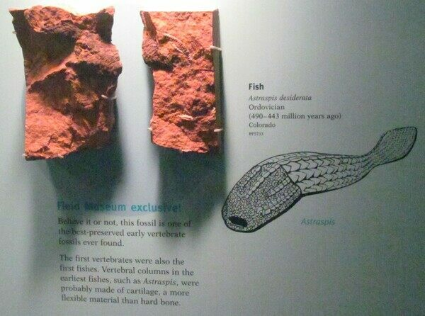 Photo of Astraspis display at the Field Museum in Chicago