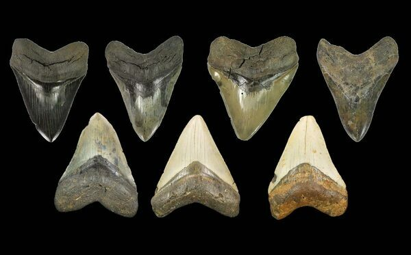 Fossil Megalodon teeth showing a wide range of colors.  They were all originally ivory white, like modern shark teeth before being fossilized.