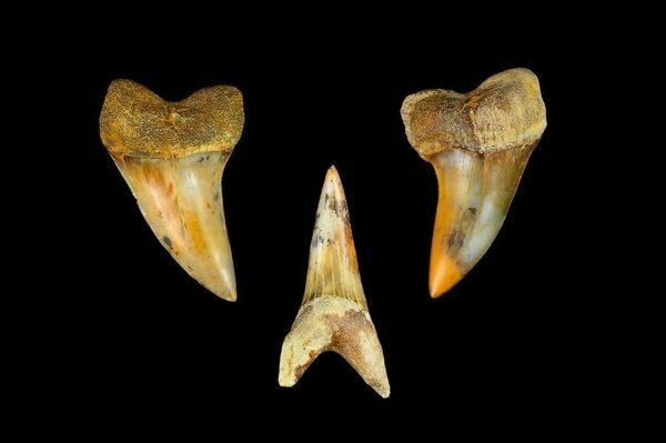 "C. Planus Shark teeth from the ""Fire Zone"" at Bakersfield, CA.  The name comes from mottled red appearance of the fossils found in the layer."
