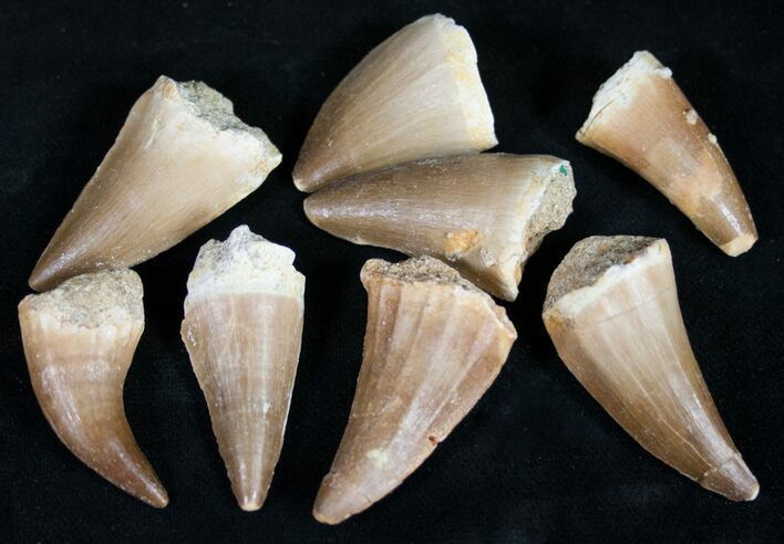 Bulk Fossil Mosasaur Teeth - 3 Pack - Photo 1