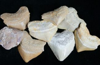 Bulk Fossil Squalicorax (Crow Shark) Teeth - 5 Pack