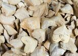 Bulk Fossil Squalicorax (Crow Shark) Teeth - 25 Pack - Photo 2