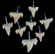 Small Wire Wrapped Fossil Shark Tooth Pendants - 5 Pieces