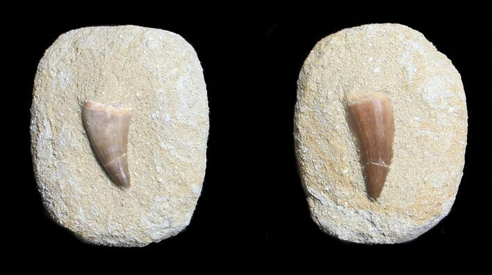 Bulk Fossil Mosasaur Tooth in Rock - Single Specimen - Photo 1