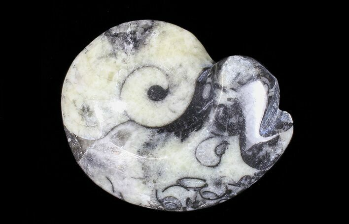 "1 1/2 - 2"" Polished Fossil Goniatite - One Piece - Photo 1"