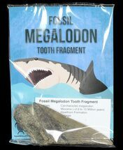 "Real Fossil Megalodon Partial Tooth - 4""+ Size"