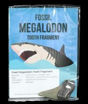 "Real Fossil Megalodon Partial Tooth - 3"" Size"
