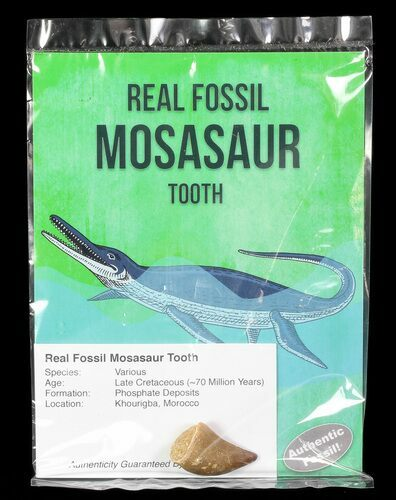 "Real Fossil Mosasaur Tooth - 1"" Size - Photo 1"