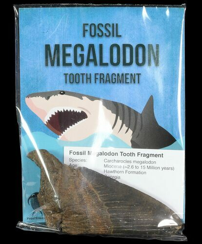 "Wholesale: Fossil Megalodon Partial Tooth (3-4"") - 10 Pieces - Photo 1"
