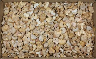 Wholesale Lot: Fossil Crow Shark (Squalicorax) Teeth - 1000 Pieces