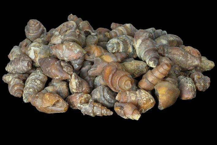 Wholesale: Agatized Fossil Gastropods - 100 Pieces - Photo 1