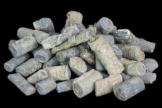 Devonian Crinoid Stems - 3oz (~50 pieces)