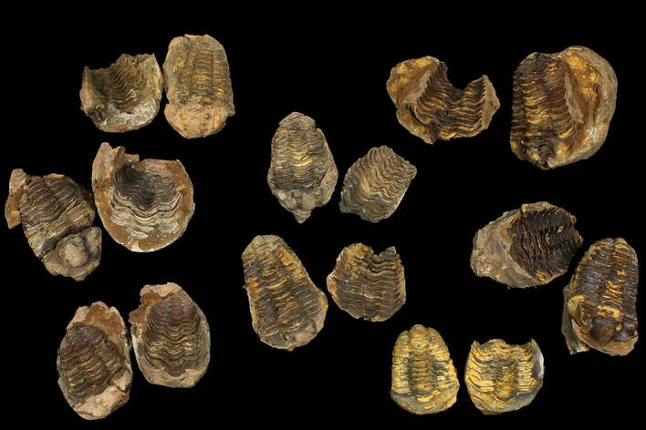 Wholesale Flats: Fossil Calymene Trilobite Nodules - 30 Pieces - Photo 1