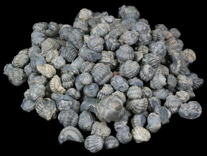 Bulk Small Enrolled Trilobite Fossils- 25 Pack - Photo 1