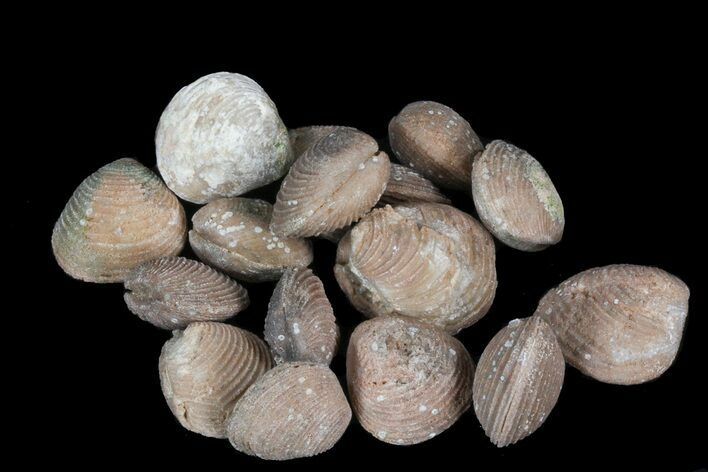 Bulk Agatized Clam Fossils - 10 Pack - Photo 1