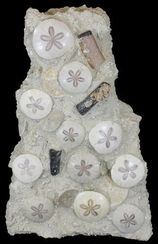 "22"" Spectacular Fossil Sand Dollar Cluster With Whale Bone"