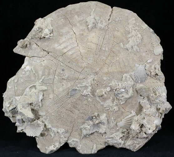 "Huge, 6.4"" Fossil Sand Dollar (Albertella) - Maryland"