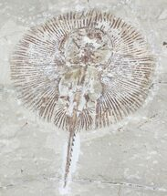 Cyclobatis major (Ray) - Fossils For Sale - #24147