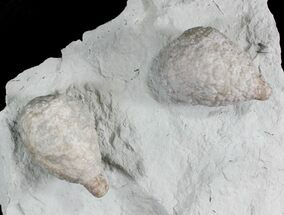 Buy 3D Cystoid (Holocystites) Fossil - Indiana - #25135