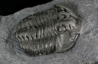 "1.6"" Gravicalymene Trilobite - Sugar River Formation, New York For Sale, #25259"