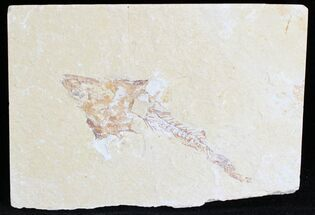 "Buy 3.4"" Fossil Coccodus (Crusher Fish) - Lebanon - #28198"