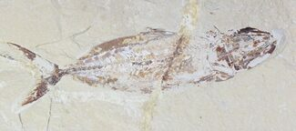 Halec microlepis - Fossils For Sale - #28206