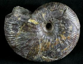 Hoploscaphites plenus - Fossils For Sale - #28611