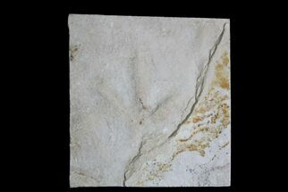 Eocene Age Fossil Bird Track - Green River Formation, Utah For Sale, #28754