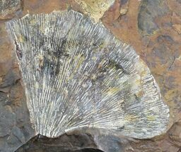 Buy Multiple Fossil Ginkgo Leaf From North Dakota - Paleocene - #29074