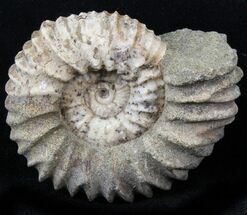 "1.8"" Pavlovia Ammonite Fossil - Siberia, Russia For Sale, #29729"