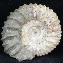 "1.6"" Pavlovia Ammonite Fossil - Siberia, Russia For Sale, #29735"