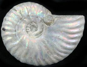 "1.6"" Silver Iridescent Ammonite - Madagascar For Sale, #29876"