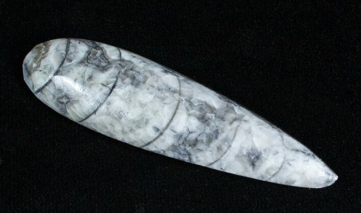 Polished Orthoceras (Cephalopod) Fossil