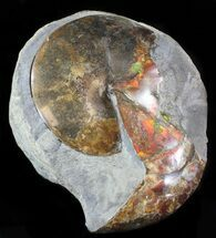 "Buy Large Red Iridescent Sphenodiscus Ammonite - 10.3""  - #6100"