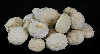 Buy Bulk Small Sea Urchin (Echinoderm) Fossils - 25 Pack - #30466