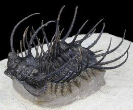 "Large Spiny Koneprusia Trilobite - 2"" long For Sale, #31046"