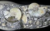 "8.6"" Wide Iridescent Ammonite (Deschaesites) Cluster - Russia - #31373-1"