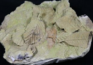 Unidentified - Fossils For Sale - #31389