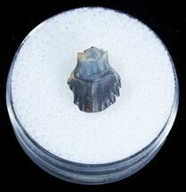Buy Armored Ankylosaur Tooth - Two Medicine Formation - #3874
