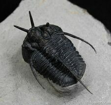 Buy Devil Horned Cyphaspis Trilobite - Great Spines - #475
